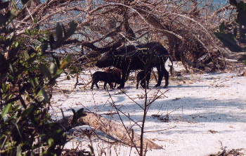 Mama Boar protecting her babies on Caya Costa